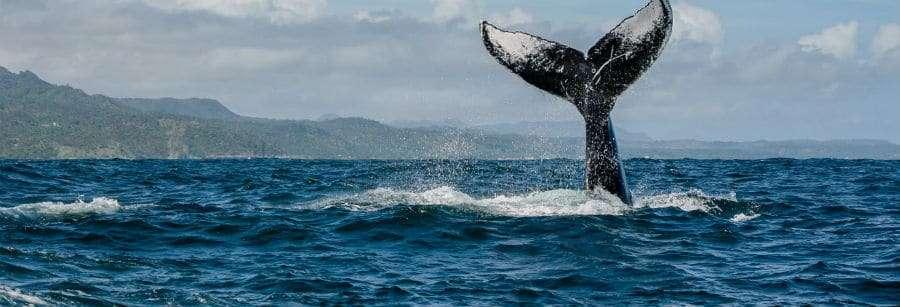 Whale watching inSamaná Bay trips