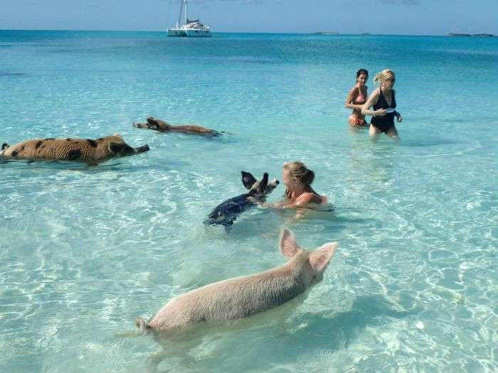 bahamas swimming with pigs